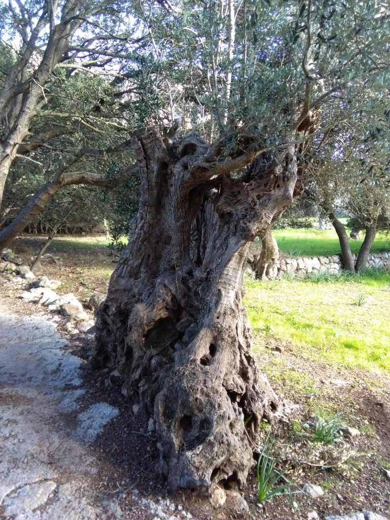 Ist das der schönste Olivenbaum?